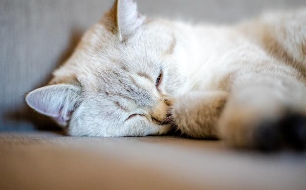 Eine hell schlafende katze liegt auf einem grauen sofa mit verschwommenem hintergrund, nur das tiergesicht ist im fokus