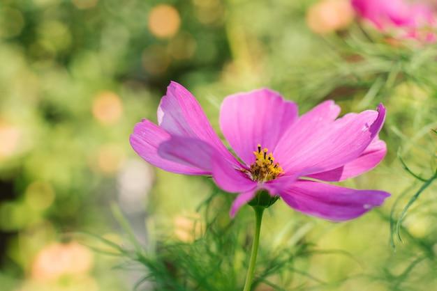 Eine helle rosa purpurrote cosme-blume wächst in einem sommergarten.