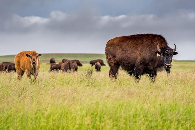 Eine herde des ebenenbisonbüffels mit einem babykalb, das in einer weide in saskatchewan, kanada weiden lässt