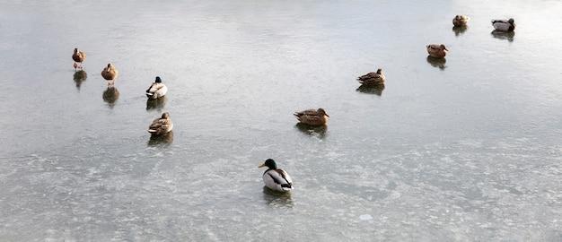 Eine herde enten sitzt auf einem gefrorenen teich. panorama-format.