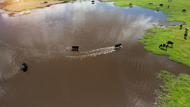 Eine herde kühe, die in der nähe einer großen pfütze von oben weiden lassen