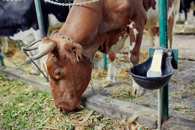 Eine herde kühe in einer milchfarm, die gras und heu isst und wasser trinkt.