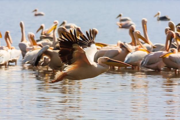 Eine herde pelikane am ufer des sees. kenia, afrika