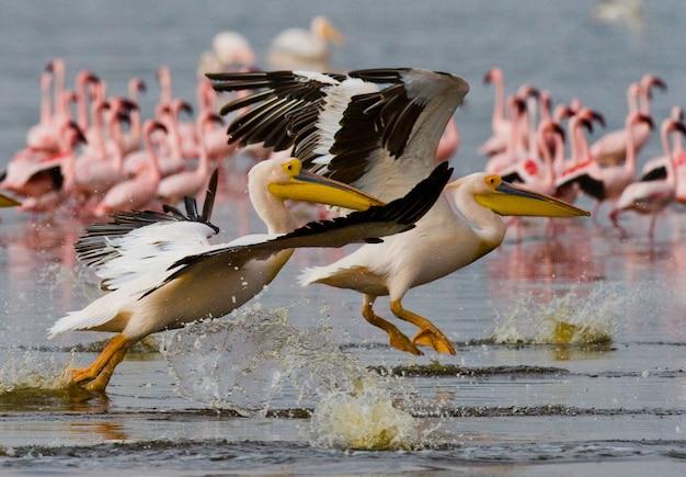 Eine herde pelikane hebt vom wasser ab. see nakuru.