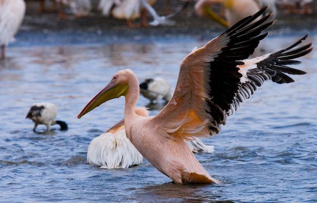 Eine herde pelikane hebt vom wasser ab.