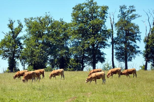 Eine herde voller französischer kühe, die auf einer wiese weiden. weidetiere. sonniger sommertag mit blauem himmel