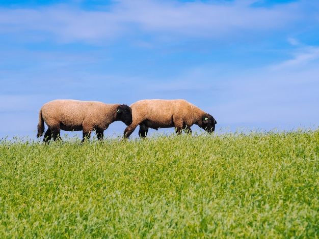Eine herde von niedlichen kleinen lämmern und schafen auf frischer grüner wiese im niederländischen deich.