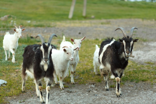 Eine herde von ziegen, die auf einer grünen wiese auf einer farm gehen.