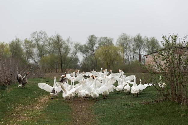 Eine herde weißer gänse rennt durch das dorf und flattert mit den flügeln