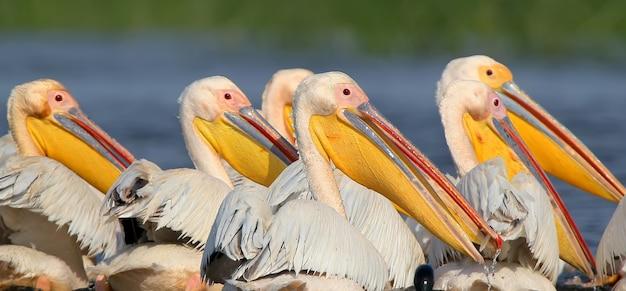 Eine herde weißer pelikane jagt gemeinsam in den gewässern der donau. vögel versammeln sich in einer dichten herde und jagen fische im flachen wasser