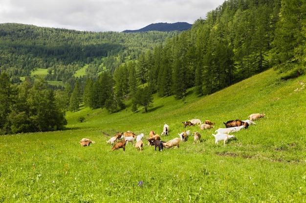 Eine herde weißer und schwarzer ziegen weidet im sommer im altai-gebirge auf grünem gras.