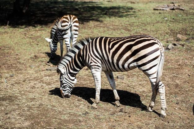 Eine herde zebras in freier wildbahn. mauritius.