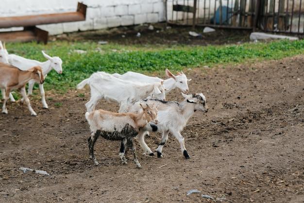 Eine herde ziegen und schafe im freien auf der ranch weiden lassen. viehweide, tierhaltung. die zucht von rindern.