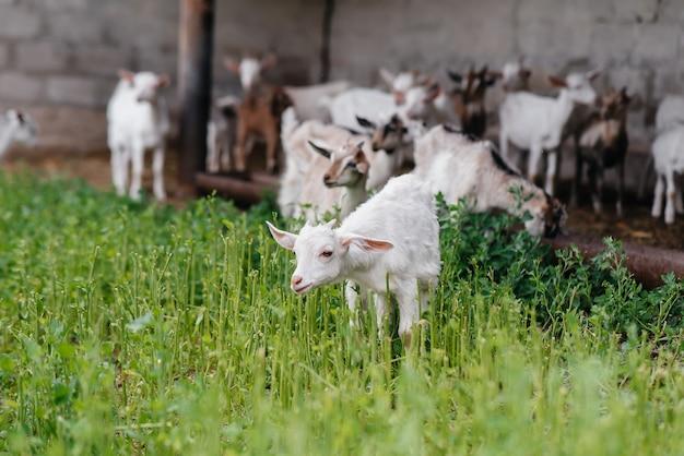 Eine herde ziegen und schafe im freien auf der ranch weiden lassen.