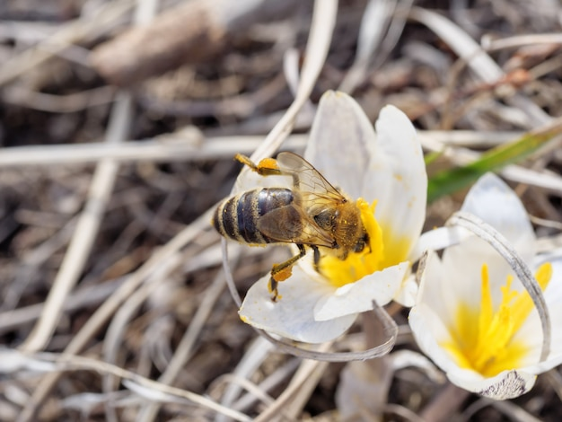 Eine honigbiene mit pollen an den beinen bestäubt die ersten blüten von schneeglöckchen.