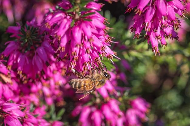 Eine hummel, die nektar auf schönen lila blüten von loosestrife und granatapfelfamilie sammelt