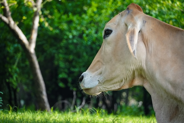Eine hungrige kuh bild hd