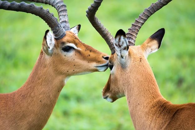 Eine impala-familie auf einer graslandschaft in der savanne