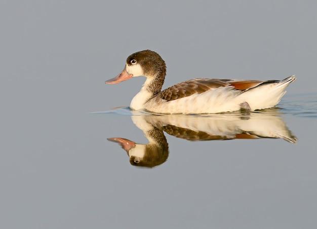 Eine junge ente schwimmt auf dem wasser und spiegelt sich darin wider. (tadorna tadorna)