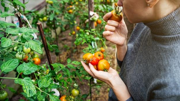Eine junge frau in einem grauen pullover sammelt tomaten und riecht die früchte in einem gewächshaus. gemüse-konzept ernten