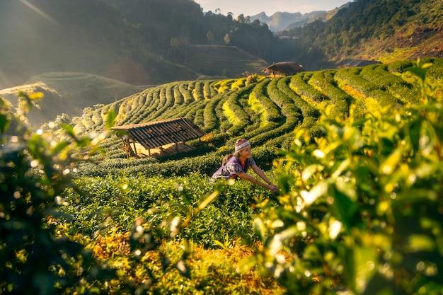 Eine junge frau sammelt morgens teeblätter auf einer teeplantage in chiang mai, thailand.