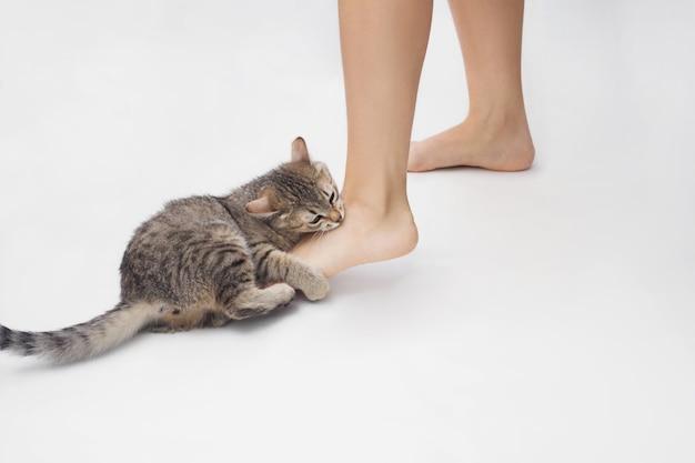 Eine junge getigerte katze beißt einer frau auf die füße. nettes kätzchen spielt mit den füßen des besitzers, die auf weißer wand isoliert werden. schlechtes verhalten des haustieres. freche katze beißt sich auf einen knöchel