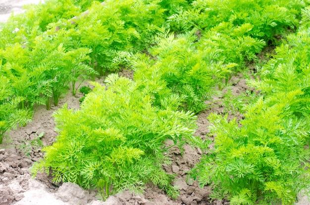 Eine junge karotte wächst in der bodennahaufnahme. landwirtschaft, umweltfreundliche landwirtschaftliche produkte, detox,