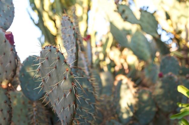 Eine kaktusblume unter natürlichen bedingungen. sacculents. nahansicht