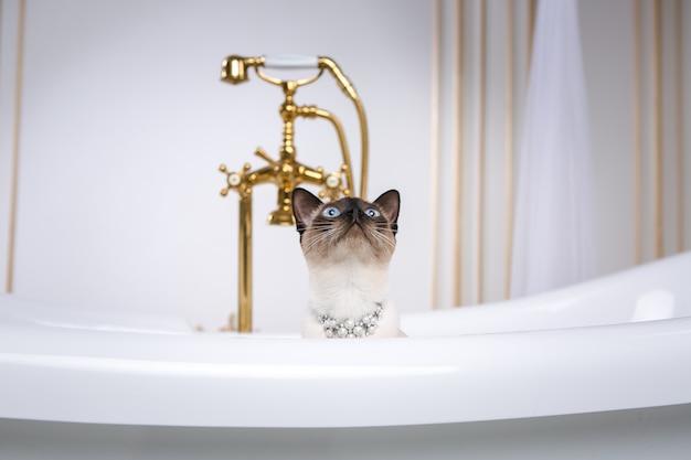 Eine katze ohne schwanz des mekong bobtail brütet in einem retro-badezimmer im inneren des barocoo versailles palace.