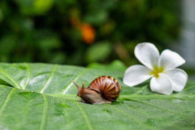 Eine kleine achatina-schnecke, die auf ein grünes blatt mit wassertröpfchen mit einer weißen schönen magnolienblume mitten in einem grünen garten kriecht. kosmetik-konzept