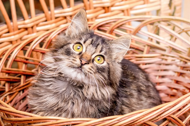 Eine kleine gestreifte katze sitzt in einem weidenkorb und schaut aufmerksam nach oben