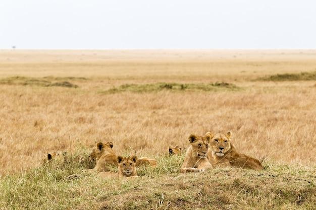 Eine kleine herde löwen