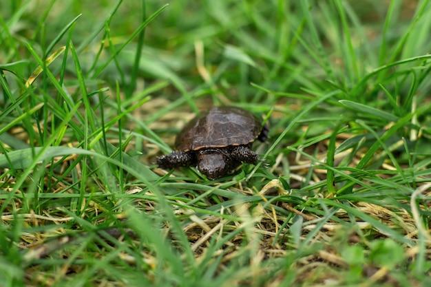 Eine kleine neugeborene schildkröte, die auf das grüne gras des neuen frühlinges kriecht