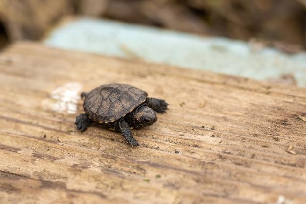 Eine kleine neugeborene schildkröte, die auf ein hölzernes brett kriecht