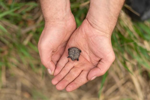 Eine kleine neugeborene schildkröte sitzt in den armen eines männlichen fischers, der sie gerettet hat
