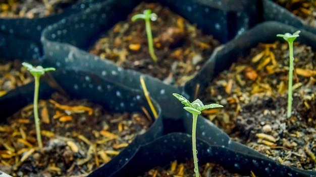 Eine kleine pflanze von cannabis-setzlingen im stadium der vegetation, die in der sonne in den boden gepflanzt wurde, ein wunderschöner hintergrund, anhaltspunkte für den anbau in einem marihuana in innenräumen für medizinische zwecke