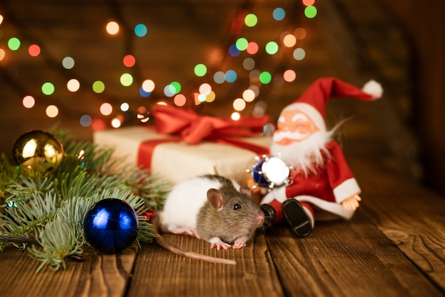 Eine kleine zweifarbige hausratte zwischen tannenzweigen und weihnachtsschmuck auf einer dunklen holzoberfläche
