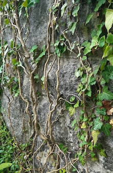 Eine kletterpflanze mit grünen blättern und vielen verdrehten ästen wächst an einer vertikalen steinwand