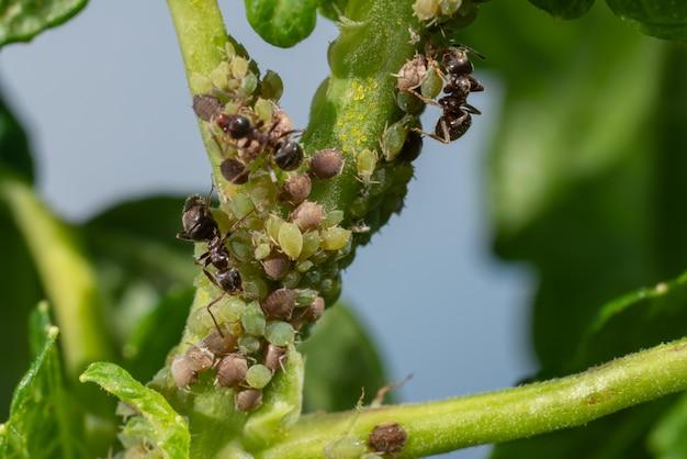 Eine kolonie von blattläusen und ameisen auf gartenpflanzen