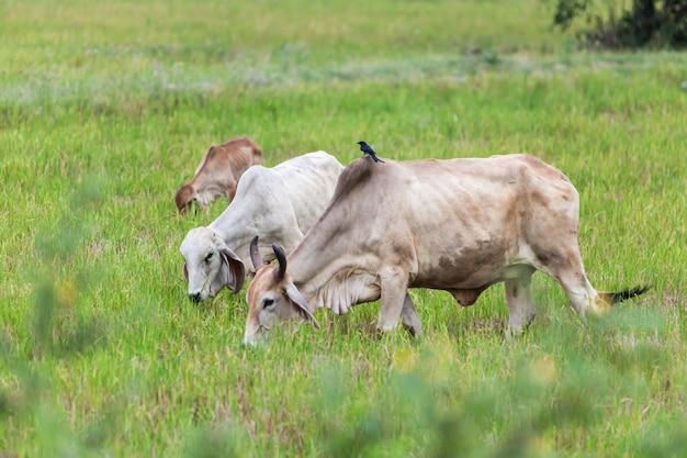 Eine kuh und ein schwarzer drongo