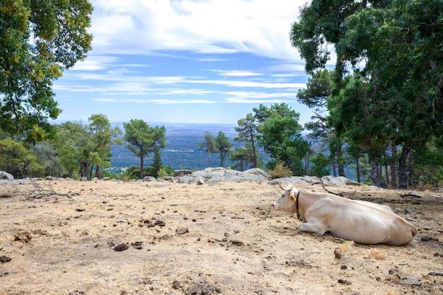 Eine kuh weidet am ende des sommers ruhig auf einem berg.