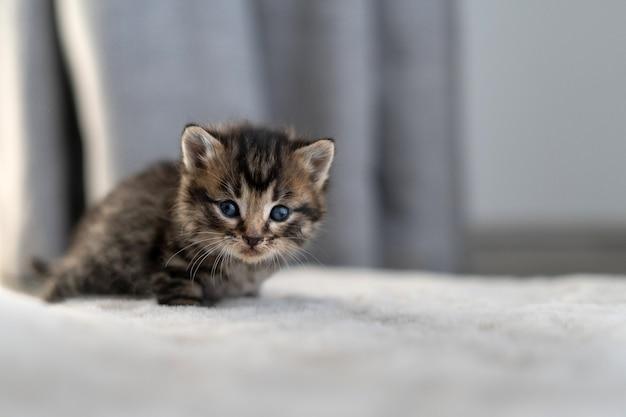 Eine kurzhaarige katze aus schokoladenmarmor in einer wohnung, die auf einem teppich sitzt.