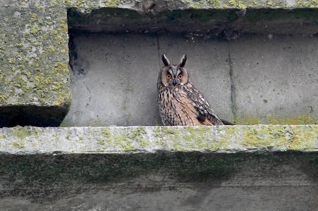 Eine langohrige eule im winterkleid sitzt auf einer straßenbrücke und beobachtet mich. ungewöhnliches perspektivisches foto