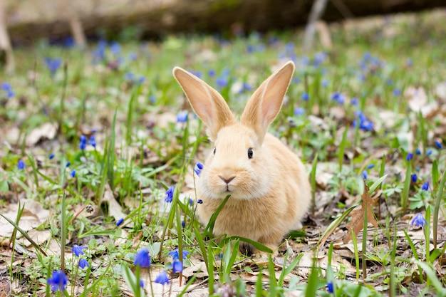 Eine lichtung aus blauem frühling blüht mit einem kleinen flauschigen roten kaninchen, einem osterhasen, einem hasen auf einer wiese