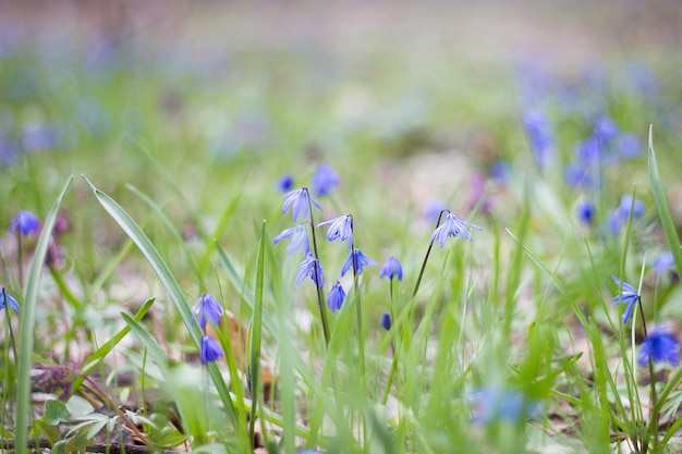 Eine lichtung aus blauen blüten, eine lichtung aus zerbrechlichen frühlingsblumen, die ersten frühlingsblumen