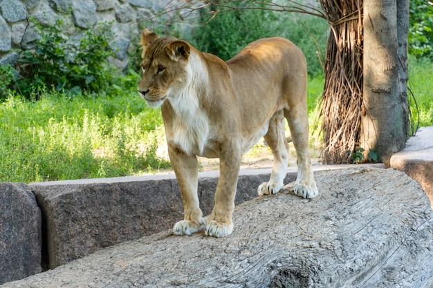 Eine löwin, die auf einem stein an einem sonnigen tag steht.