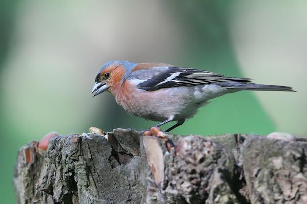 Eine männliche buchfink-nahaufnahme. fotografiert auf einem baum. erkennungszeichen des vogels sind deutlich sichtbar.