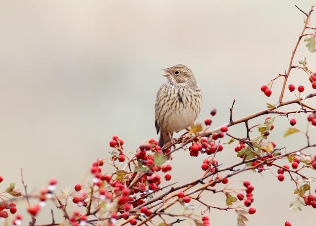 Eine maisflagge (emberiza calandra) sitzt auf einem weißdornbusch mit roten beeren und regentropfen darauf. ein vogel Premium Fotos