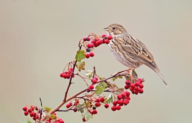 Eine maisflagge (emberiza calandra) sitzt auf einem weißdornbusch mit roten beeren und regentropfen darauf. ein vogel