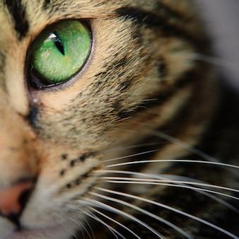 Eine makroaufnahme des gesichtes einer jungen tabbykatze. konzentriere dich auf seine wunderschönen grünen augen